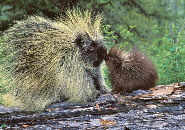Porcupine Family Notecard