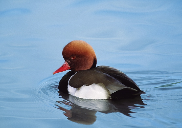 Red-Crested Pochard Notecard