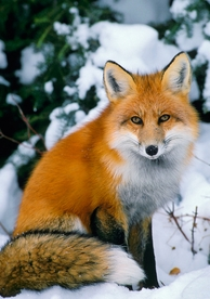 Red Fox in Snow Holiday Cards