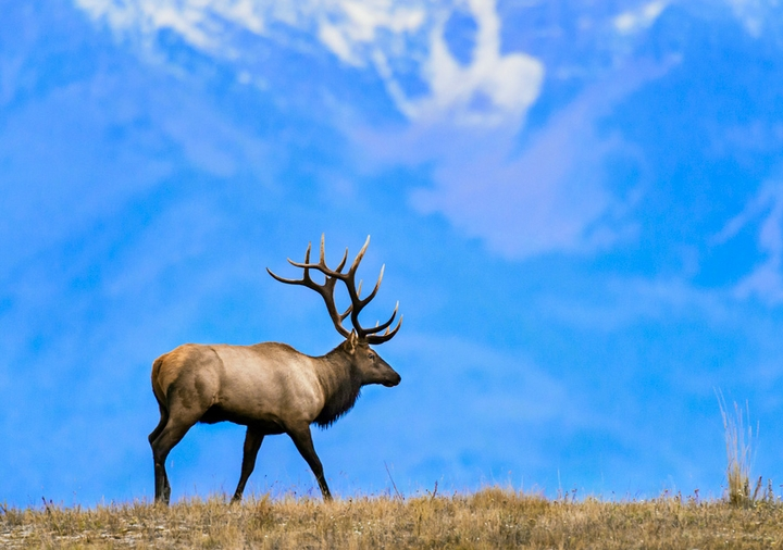 Rocky Mountain Elk Holiday Cards