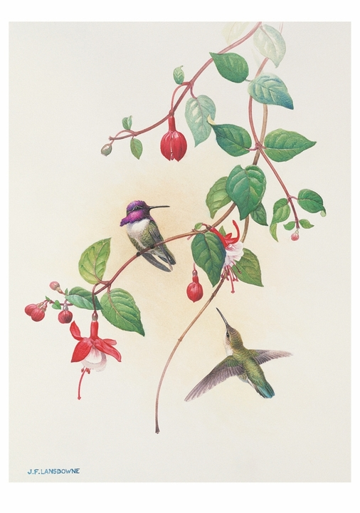 J. Fenwick Lansdowne: Costa's Hummingbirds Notecard