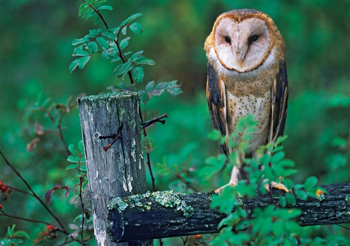 Barn Owl Notecard