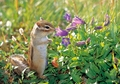 Siberian Chipmunk Notecard