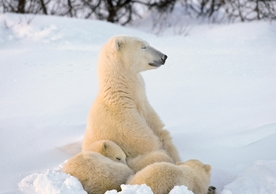 Sleepy Polar Bear and Cubs Holiday Cards