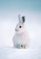 Snowshoe Hare Holiday Cards