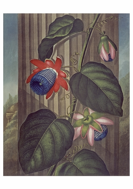 The Winged Passion Flower Notecard