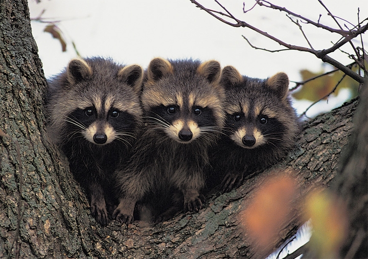 Three Young Raccoons Notecard