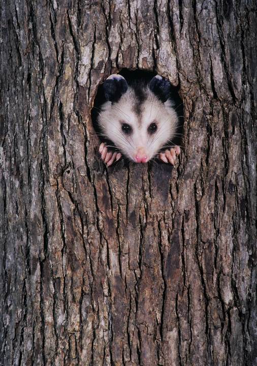 Virginia Opossum in Tree Trunk Notecard