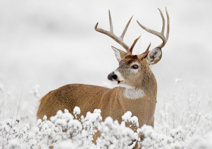 White-Tailed Deer Holiday Cards