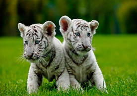 White Tiger Cubs Notecard