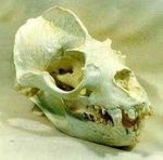 California Sea Lion Skull Female