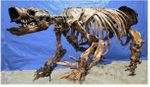 Glossotherium Harlan's Ground Sloth Skeleton -DISARTICULATED