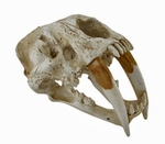 Saber Tooth Tiger Skull Fossil Replica