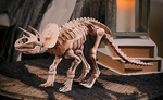Large Triceratops Skeleton Fossil Replica 24 inch