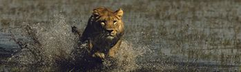 National Geographic African Lion Charging Rear Window Decal