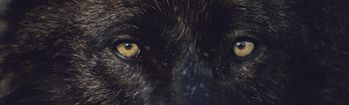 National Geographic Black-Colored Wolf Eyes Rear Window Decal