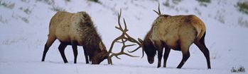 National Geographic Bull Elk in Yellowstone Rear Window Decal
