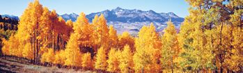 National Geographic Fall Aspen Trees Rear Window Decal