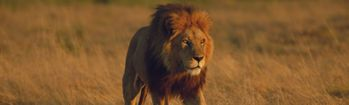 National Geographic Male Lion in Duba Plains Rear Window Decal