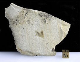 Eocene Feather Fossil Wyoming