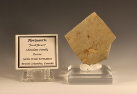 Eocene Fossil Flower Florissantia Chocolate Family