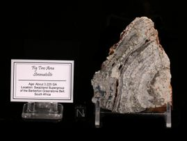 Fig Tree Chert Large Stromatolite - New!