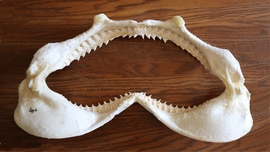 "Shark Jaws Extra Large 20"" - Sold!"