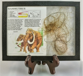 Woolly Mammoth Hair with Display