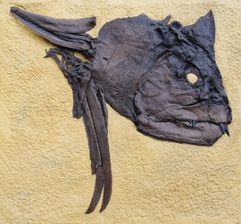 Xiphactinus Large Fossil Fish Skull Wall Display