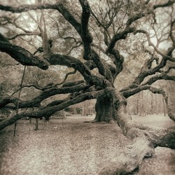 Charleston: Angel Oak 12 x 12 Paper
