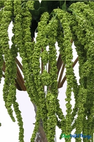 "Amaranthus Spray - 39"" Green Dangling Floral Spray"
