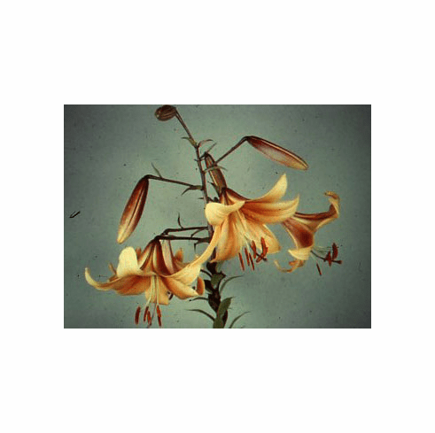 'Apricot Bell'  (Clone)