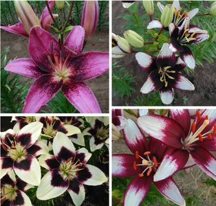 Asiatic Jewel Collection' (Early Blooming)
