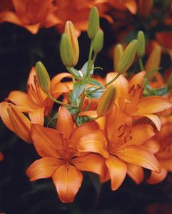 'Brunello'  - Asiatic Hybrid Lily Bulb