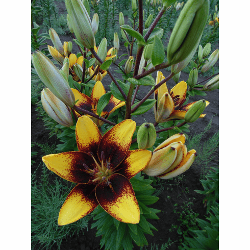 'Cafe Latte' - Asiatic Lily