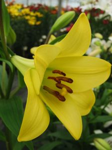 'Deliana' (LO) - Easter x Oriental Hybrid Lily