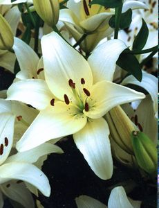 'Ercolano'  - Easter x Asiatic Hybrid Lily Bulb (Fragrant)