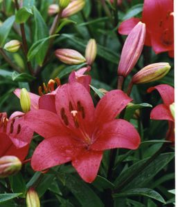 'Fangio'   - Easter x Asiatic<BR> Hybrid Lily Bulb