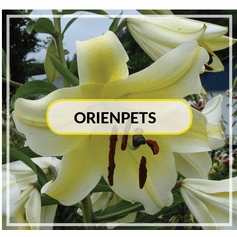 Fragrant Orienpets