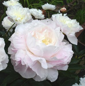 Fragrant  Peonies (not available, reference only)