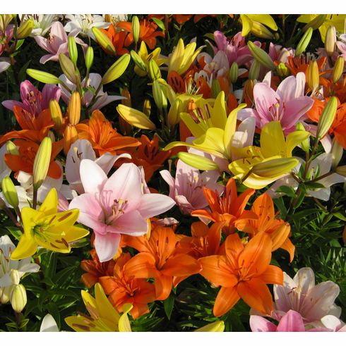 Free Asiatic Lily