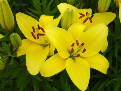 'Gironde'  - Asiatic Hybrid Lily Bulb