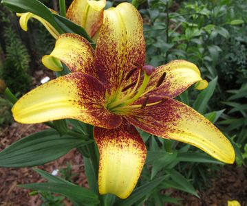 'Golden Stone' - Asiatic Hybrid Lily
