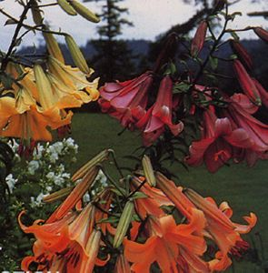 'Heirloom Trumpet Collection'