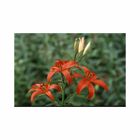 'Lilium concolor'<BR>(Morning Star Lily)