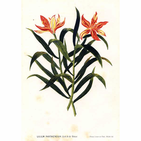 'Lilium  concolor var. partheneion'