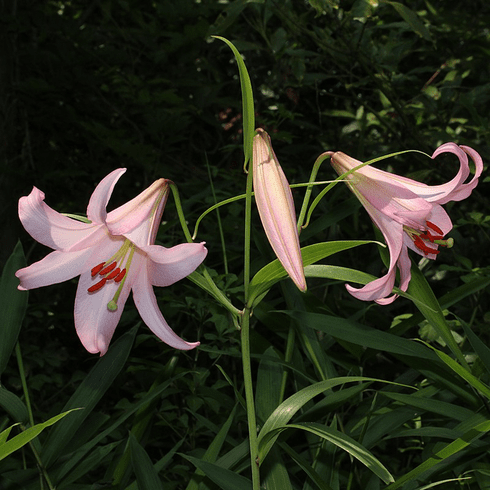 'Lilium japonicum'  <BR> The Bamboo Lily
