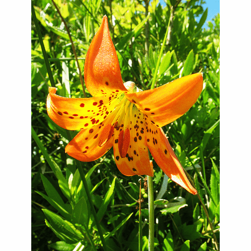 'Lilium maritimum' <BR> (Golden-Orange Form)