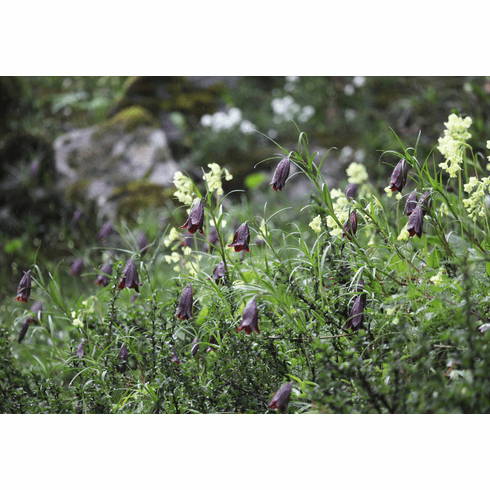 'Lilium sherriffiae'  <BR>Colony of Black-purple Form