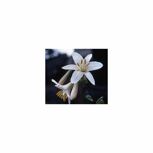 'Lilium washingtonianum' <BR>(Mt. Hood Lily)